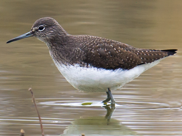 Green Sandpiper, Yangkou, 10 Jan. 2016.