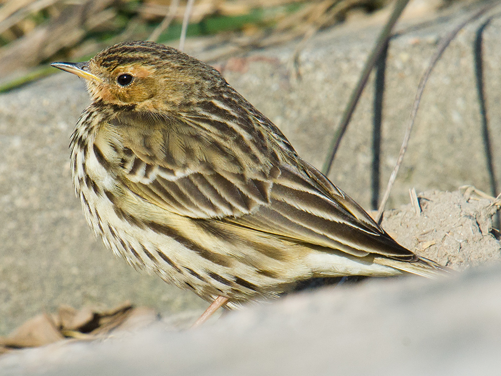 Mixed in with the Buff-bellied Pipit were Red-throated Pipit (above) and Water Pipit.