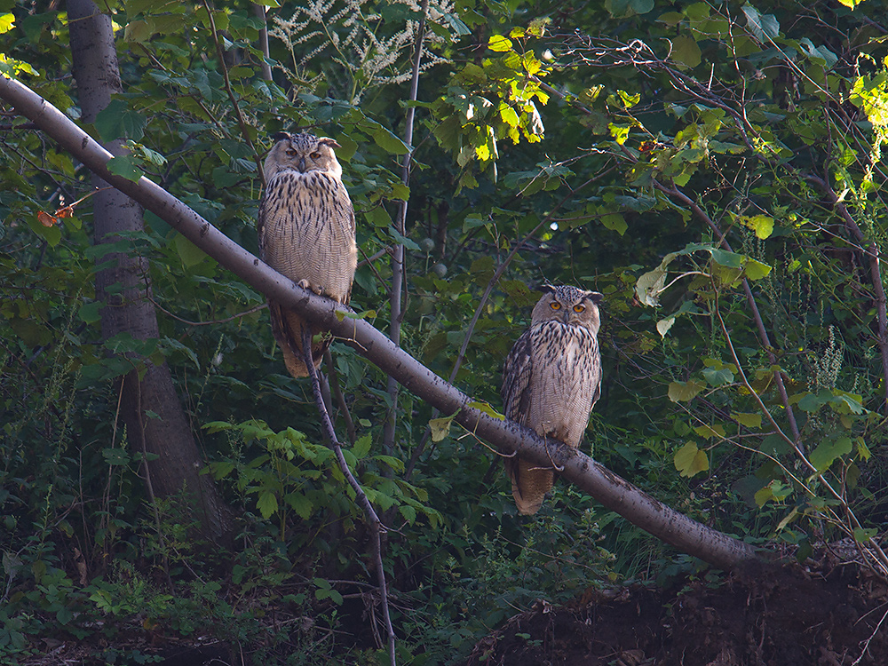 Eurasian Eagle-Owl Bubo bubo at the quarry near Elaine's house in Dawucun, Heilongjiang. Night after night, the hoot of these owls was heard in Elaine's village.