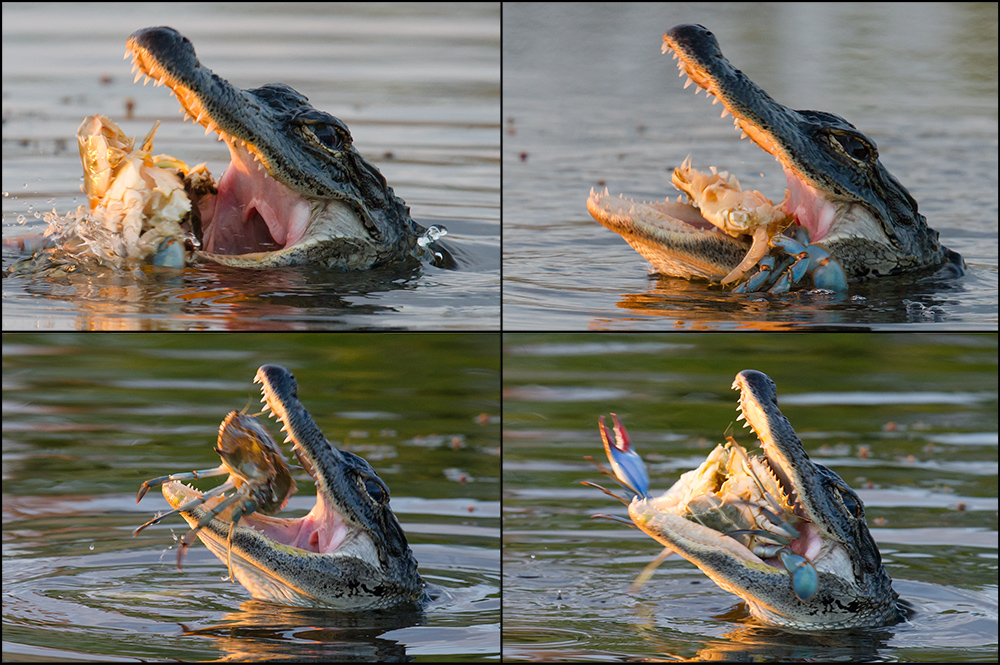 Sunset, 10 March 2015, Merritt Island National Wildlife Refuge, Florida. Elaine and I hear a loud, sickening crunch. I wade into the pond and get these powerful images of an American Alligator devouring a Blue Crab.