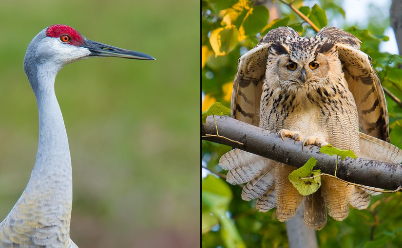 In 2015, my wife Elaine Du discovered Sandhill Crane (L) at my home in Florida; her new husband, Craig, discovered Eurasian Eagle-Owl (R) at Elaine's home in Heilongjiang. 2015 was the Year of the Crane and the Owl.