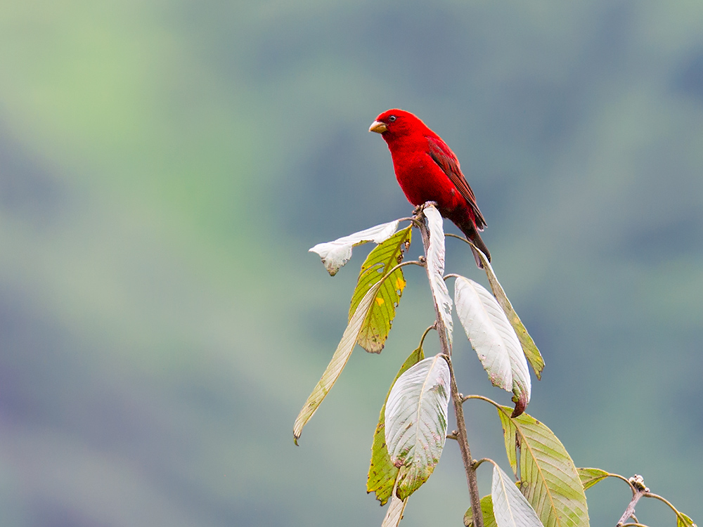 Scarlet Finch Carpodacus sipahi, Dulong Valley, Yunnan. Elev. 2430 m. 16 June 2014. Even far away, as here, the blood-red male commands attention. In China, Scarlet Finch is resident in southern and southeastern Tibet and western Yunnan. Nikon D3S, 600 mm, F/8, 1/250, ISO 2500.