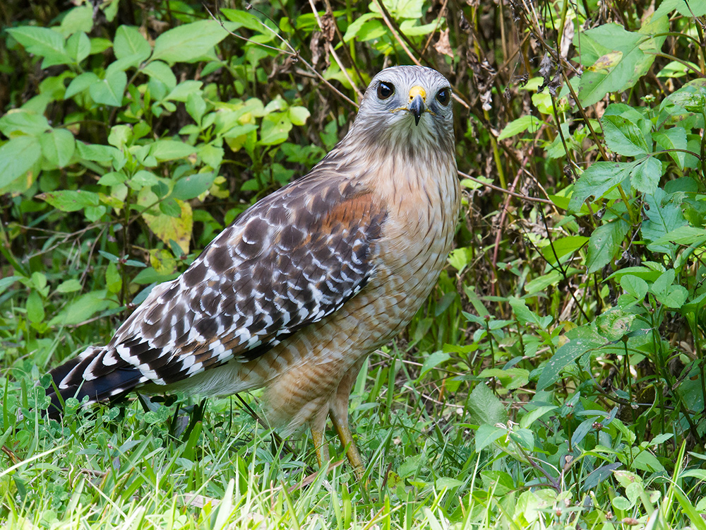 Red-shouldered Hawk Buteo lineatus, one of many species of bird using my parents' back yard in suburban central Florida, USA.