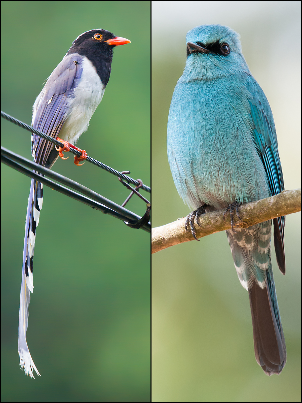Birds of Emeifeng, 28 May 2015. Red-billed Blue Magpie (L), and Verditer Flycatcher.
