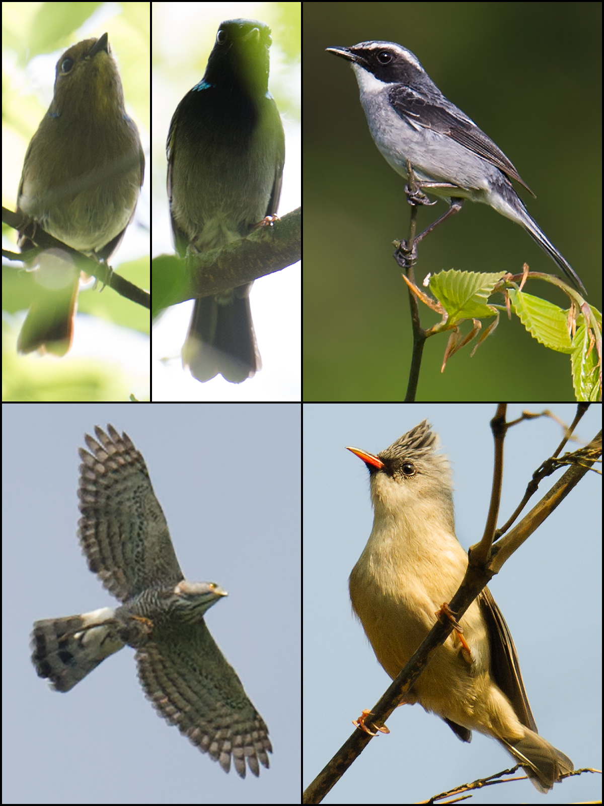 Birds of Emeifeng, 30 April 2015: Clockwise from top L: Small Niltava, female (L) and male; Grey Bush Chat; Black-chinned Yuhina; and Crested Goshawk. Craig Brelsford.