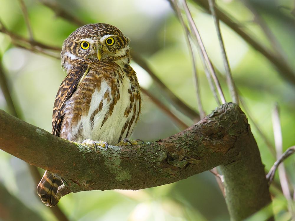 Collared Owlet, Emeifeng, 30 April 2015.