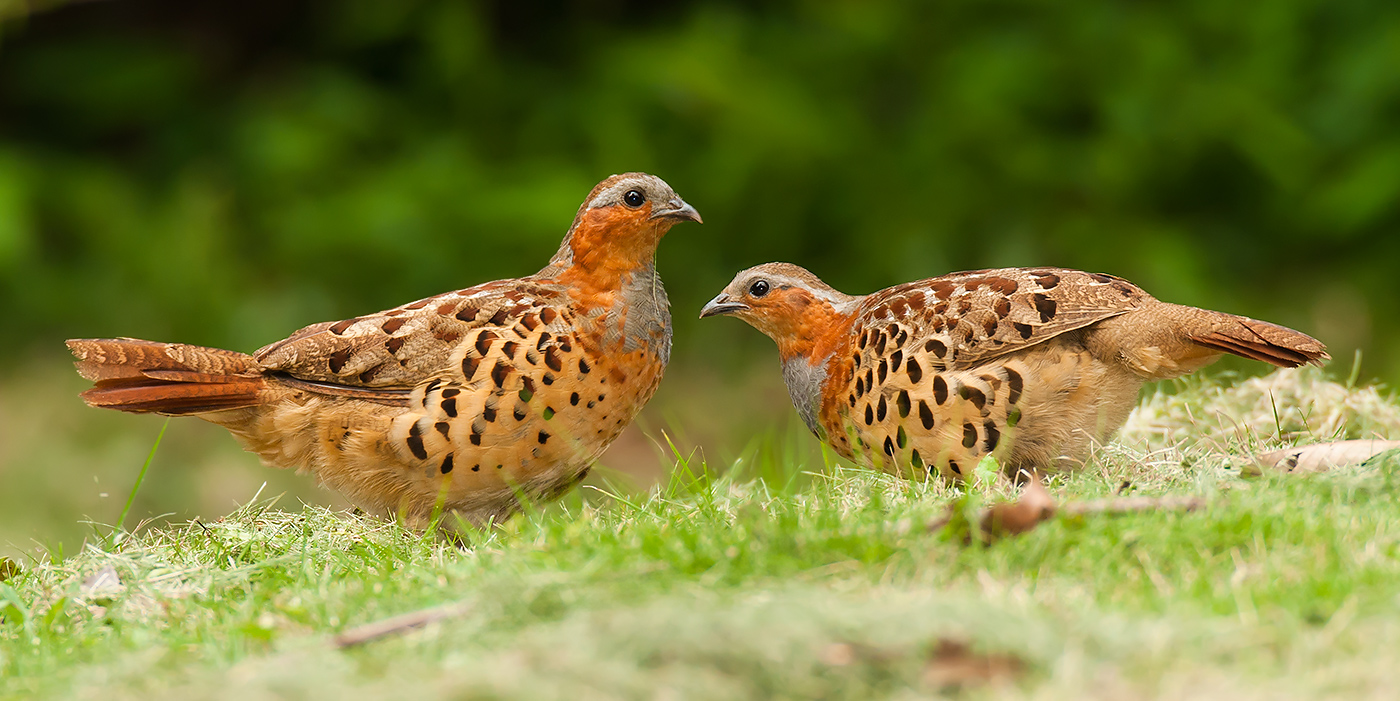 Chinese Bamboo Partridge, Hangzhou Botanical Garden, 21 June 2008. Craig Brelsford.