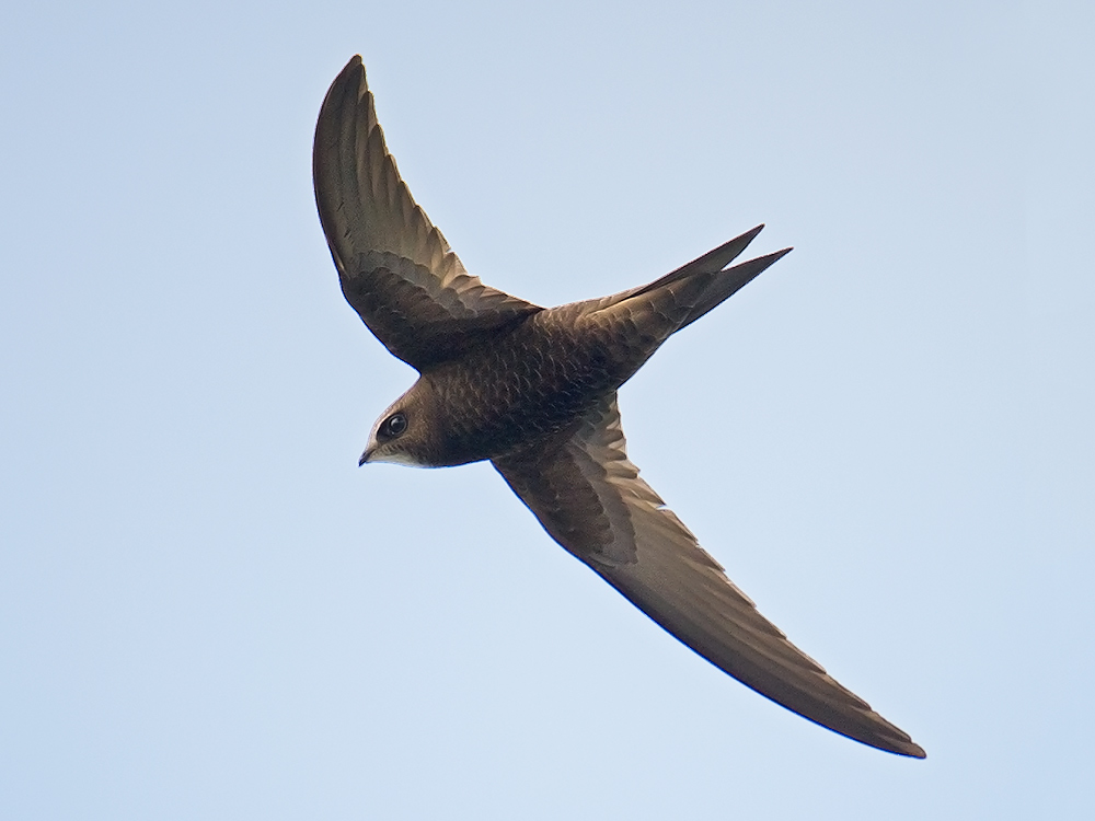 Common Swift, Hulun Lake, Inner Mongolia, 21 July 2015.