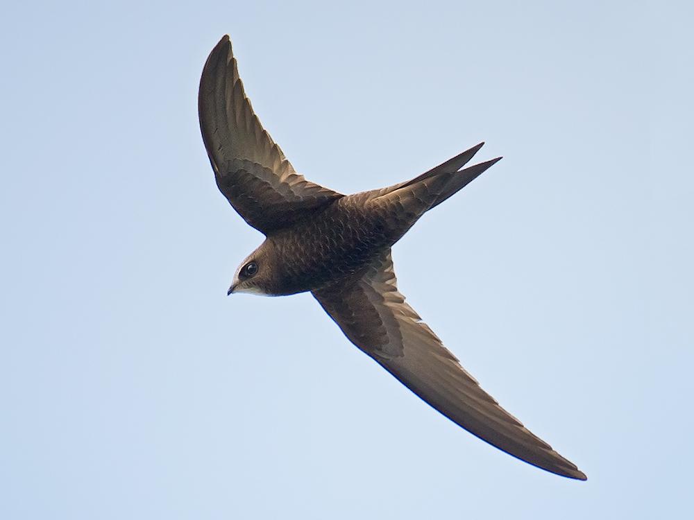 Common Swift, Hulun Lake, Inner Mongolia, 21 July 2015.