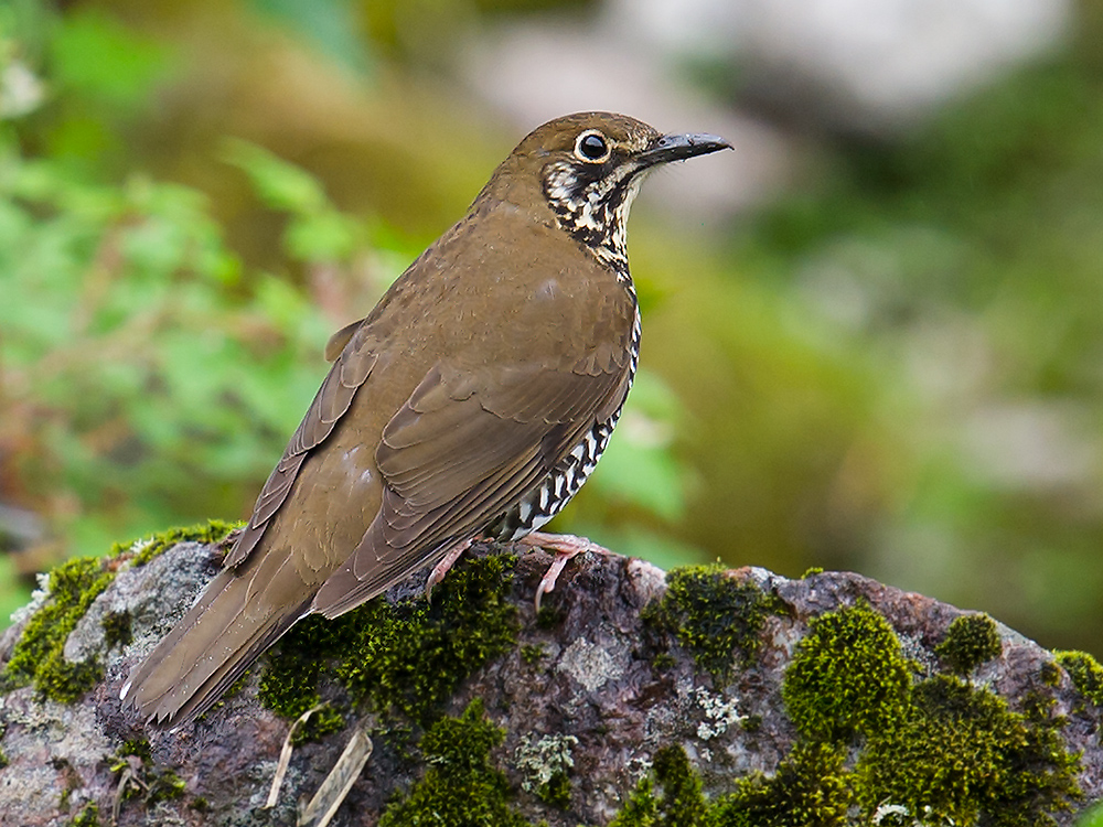 Himalayan Forest Thrush, above Dulong Valley, 20 June 2014. Note the very slightly rufous-toned upper surface, dark lower lores and subocular/moustachial area, lack of distinct dark patch on rear ear-coverts, entirely dark lower mandible, hooked upper mandible, and pale pinkish legs.