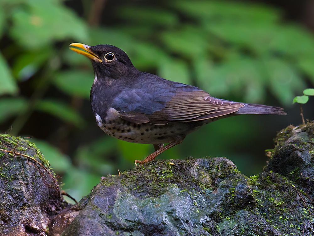 We found this wintering Japanese Thrush in Longheng on 20 Dec. 2015.