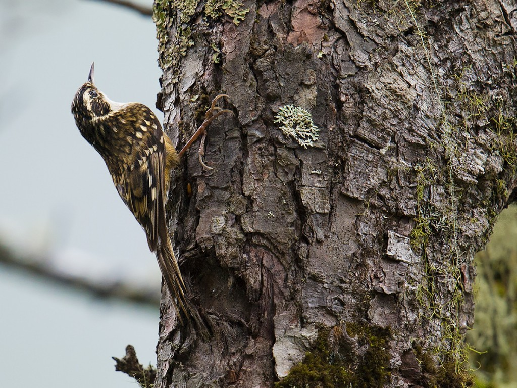 Rusty-flanked Treecreeper Certhia nipalensis, Dulong Valley, Yunnan. Elev. 2730 m. 16 June 2014. This species occurs in the central and eastern Himalayas, its range in China limited to southeastern Tibet and northwestern Yunnan (west of Salween River). Nikon D3S, 600 mm, F/5.6, 1/640, ISO 1600, hand-held.