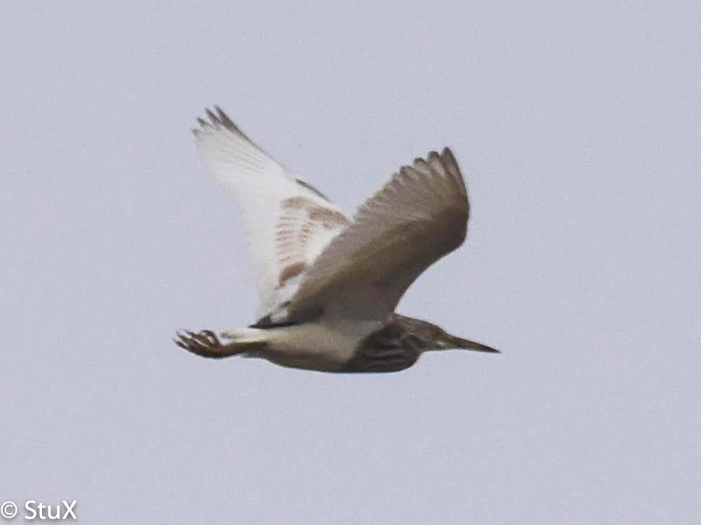 Unusual winter sighting of Chinese Pond Heron, Yangkou, 10 Jan. 2016. © 2016 by Stephan Popp & Xueping Popp.
