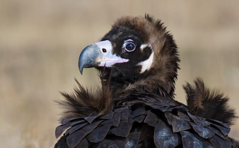 Cinereous Vulture in Shanghai