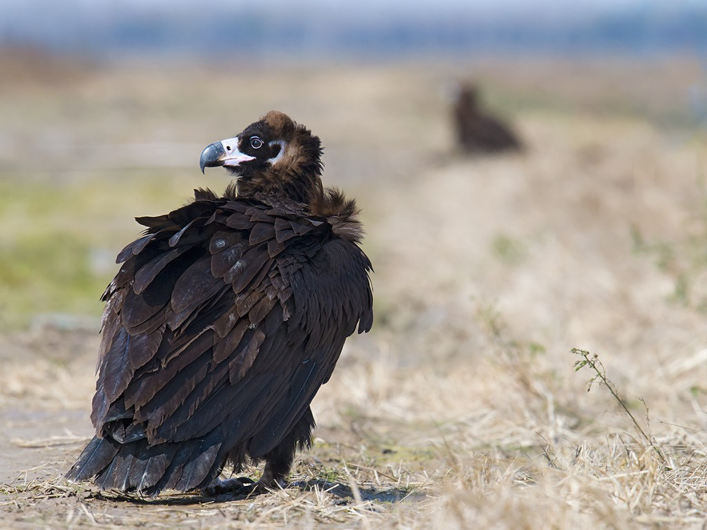 From a distance, the huge vultures looked like dogs. They usually stayed close together.