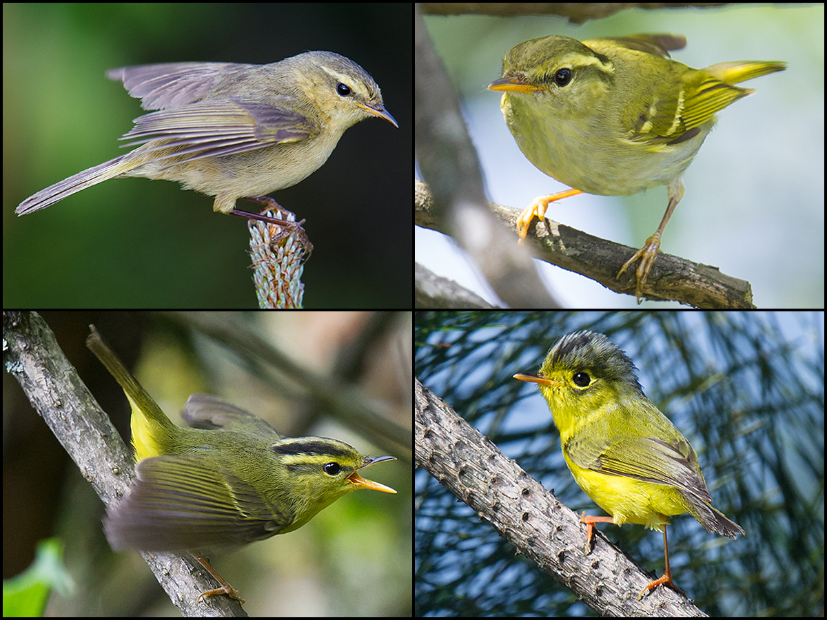 Major breeding Phylloscopidae warblers of Emeifeng. Craig Brelsford.