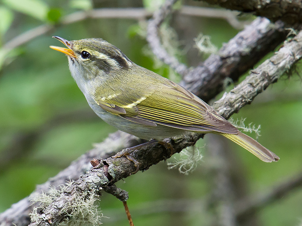 Claudia's Leaf Warbler Phylloscopus claudiae, Old Erlang Road, Sichuan. Elev. 2760 m. 1 June 2014.