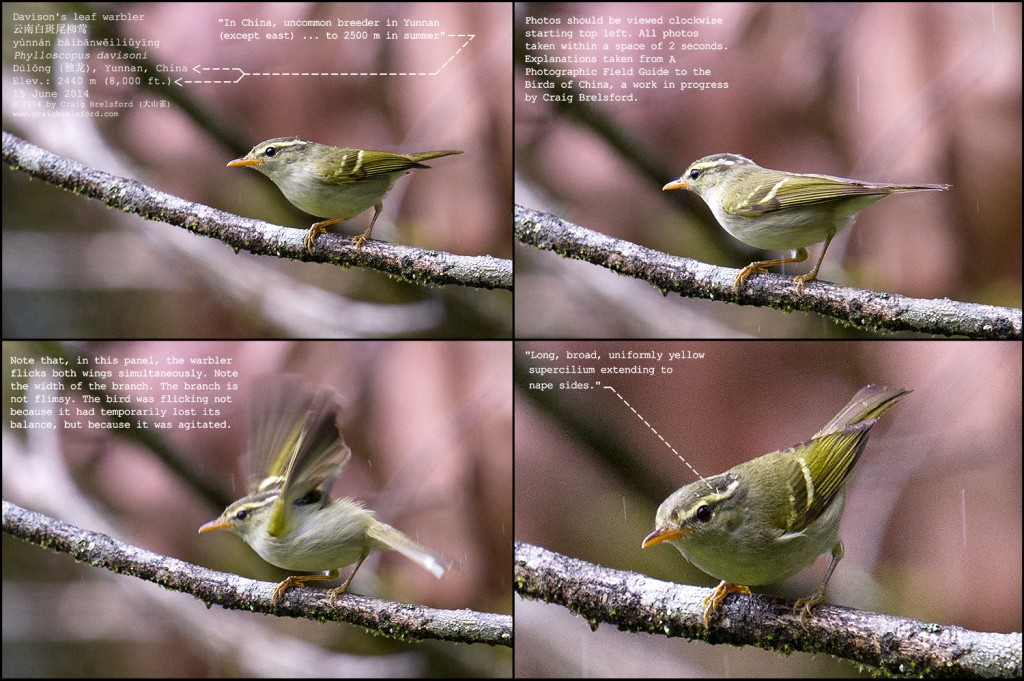 Davison's Leaf Warbler, Dulong Valley, Yunnan, 15 June 2014. The four images displayed together here were taken within the space of two seconds. Note the double wing flick in Panel 3. Nikon D3S, 600 mm, F/6.3, 1/400, ISO 2500.
