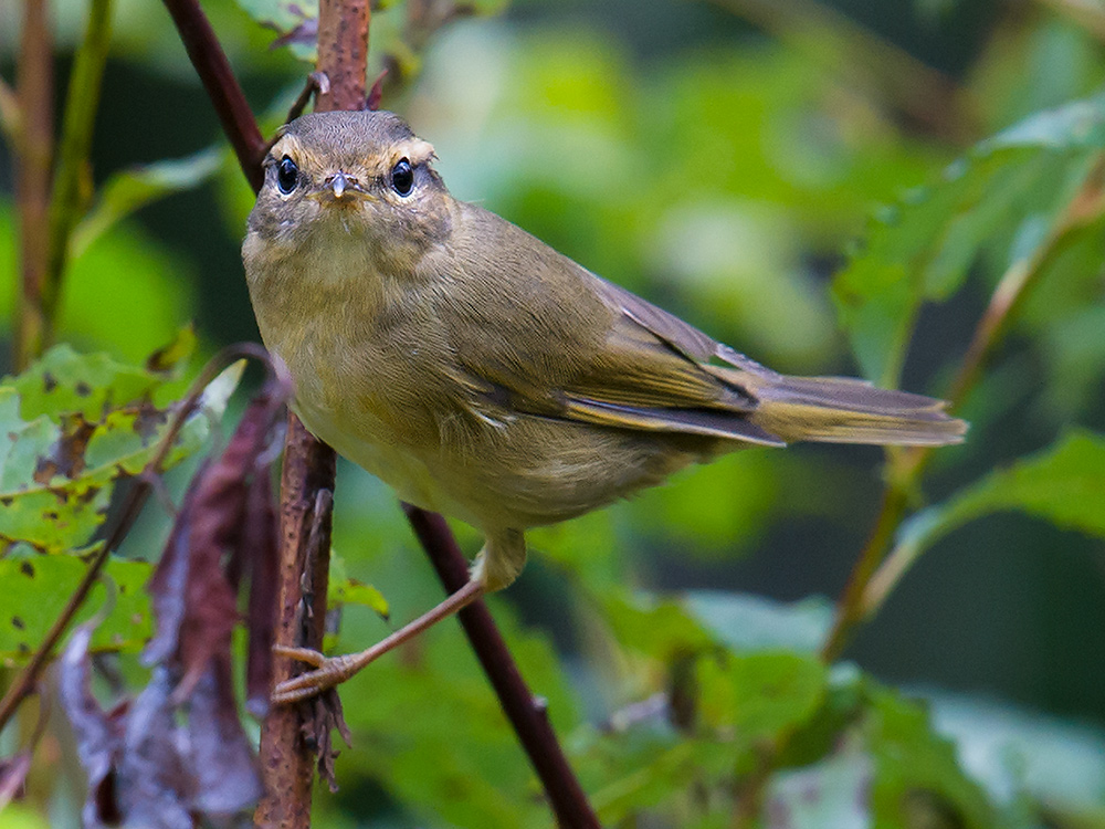 Radde's Warbler Phylloscopus schwarzi, a species commonly noted by Elaine and me at Xidaquan. They were singing and defending territory into September. This photo is from 24 Aug. 2015.