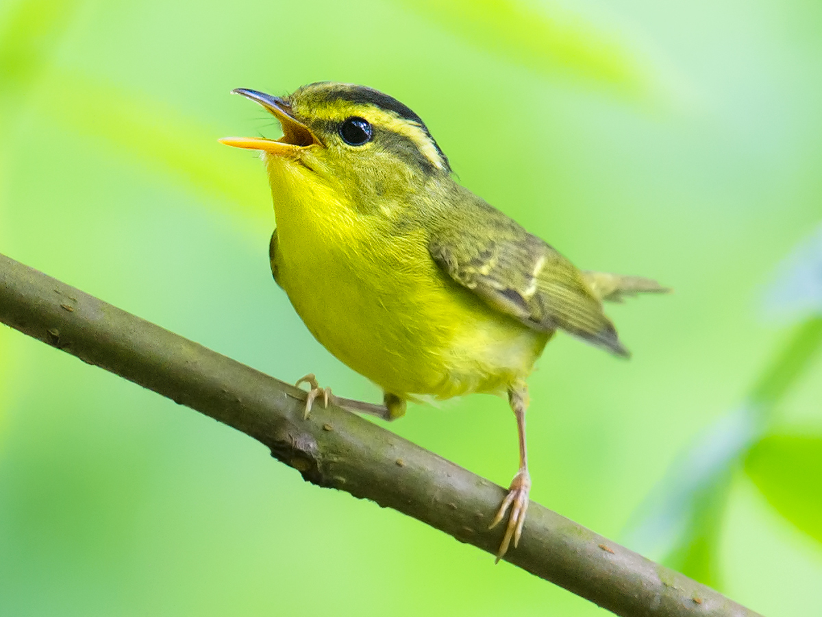 Sulphur-breasted Warbler, 1 May 2015.