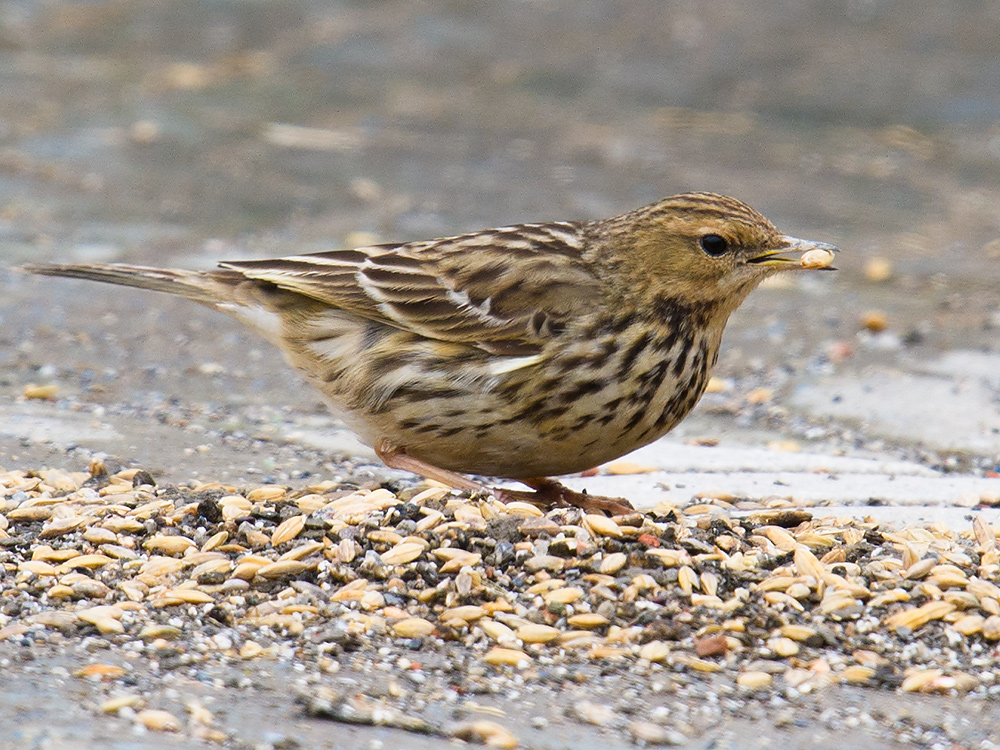 Red-throated Pipit eating grain, Nanhui, 30 Jan. 2016.