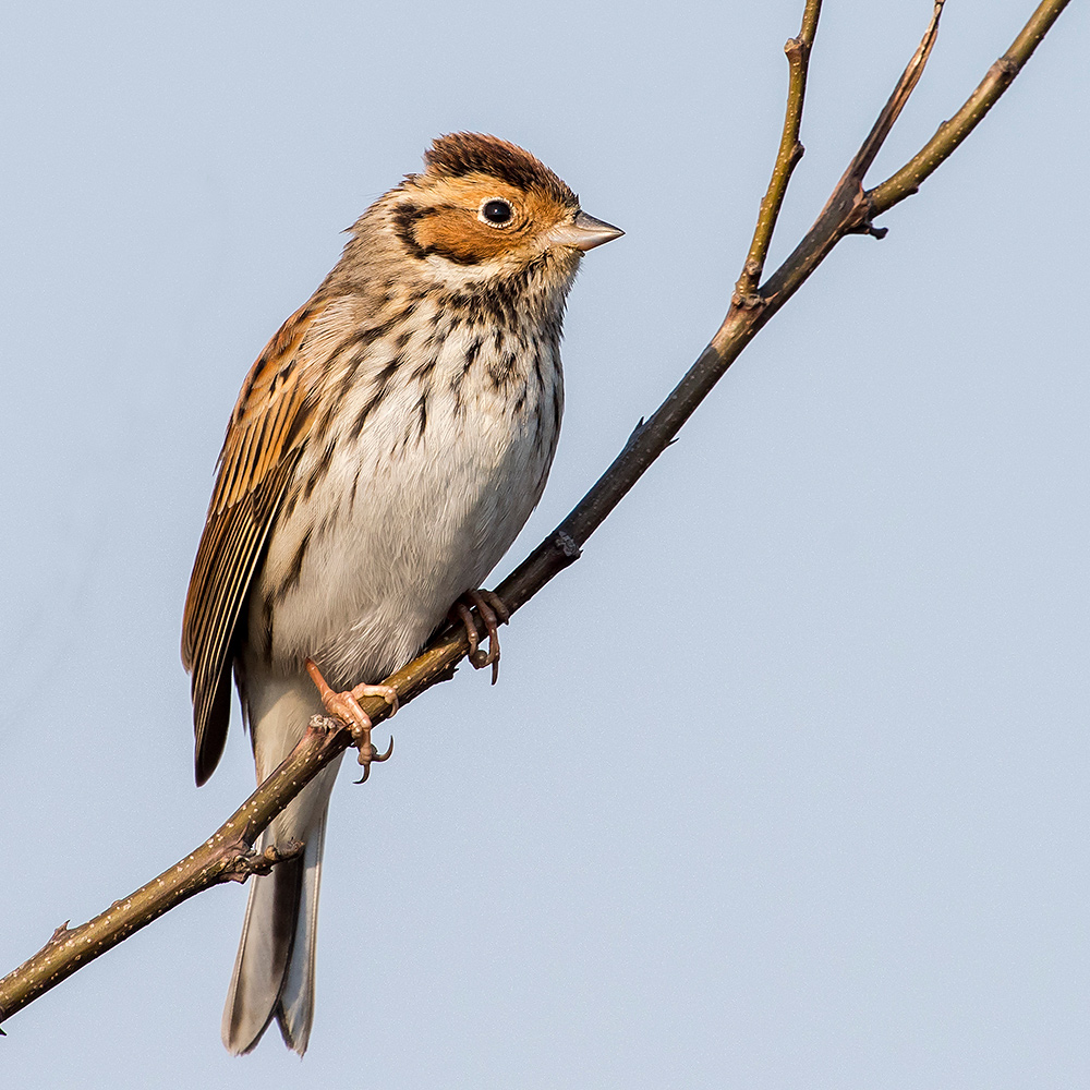 With the polluted Shanghai air acting as a filter, the morning sunlight kisses this Little Bunting ever so softly, helping photographer Kai Pflug achieve this masterful image.