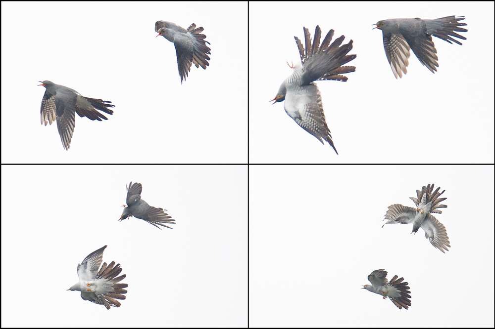 Common Cuckoo, Nanhui, 14 May 2015.