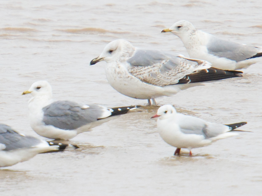 This 3-species-in-1 image shows 2 Kamchatka Gull (bottom L, top R), Vega Gull (large gull in middle), and Black-headed Gull (bottom R). Note the 'kinder' look of Larus canus kamtschatschensis; its more rounded head, in contrast to the more gently sloping forehead of the Vega; and its smaller size in comparison to Vega. Nanhui, 30 Jan. 2016.