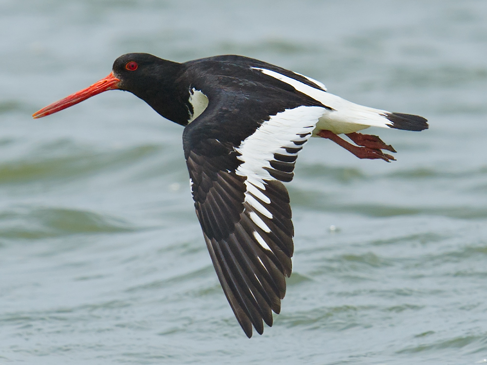 Eurasian Oystercatcher, Dongtai, 17 May 2015.