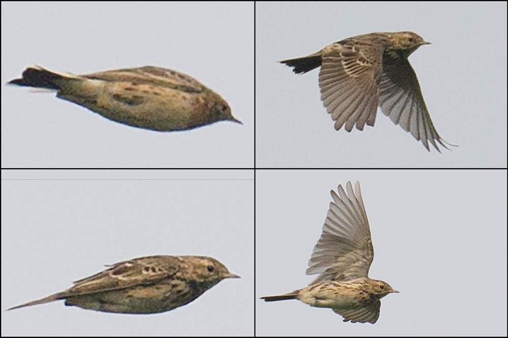 Red-throated Pipit Anthus cervinus. Photos show 2 individuals. Bird in Photo 1 (top L) identified as A. cervinus on basis of red plumage on throat and upper breast. Bird in other 3 photos ID'd as A. cervinus on basis of streakier back than Buff-bellied Pipit A. rubescens japonicus. Photos taken in the space of 4 seconds (02:07:32 to 02:07:36) on 29 March 2015 at Chongming, Shanghai.