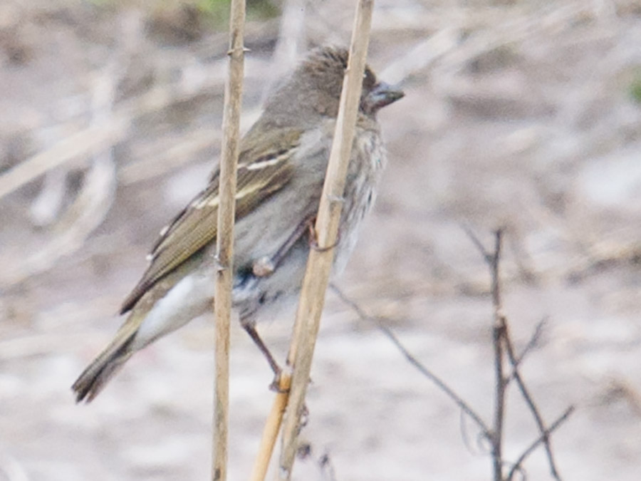 Common Rosefinch, Nanhui, 19 April 2015. Record shot showing double buff-white wingbars, dark, olive-brown upperparts, and streaking on breast and flanks.
