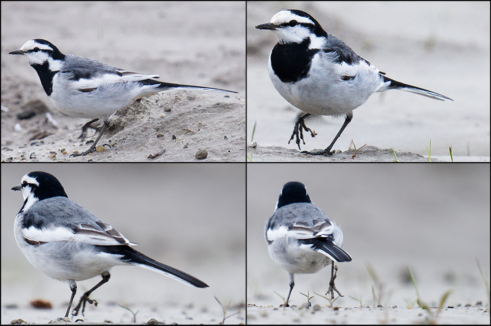 White Wagtail Motacilla alba lugens. 1st-winter male assuming 1st-summer plumage. Nanhui, 9 April 2015.