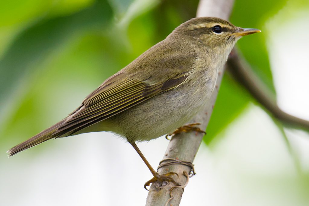 This is an image of Arctic Warbler whose voice I sound-recorded at Yangkou (Rudong) Jiangsu, China, 16 May 2015.