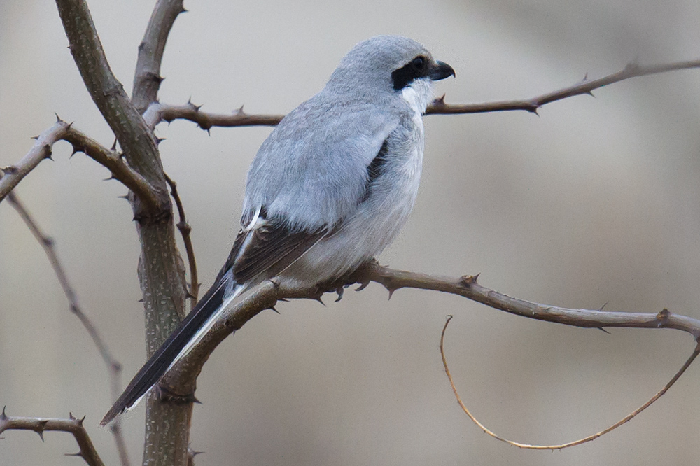 Chinese Grey Shrike Lanius sphenocercus sphenocercus at NE corner of Great Dongtai Surf 'n' Turf Birding Trail, 19 March 2016.