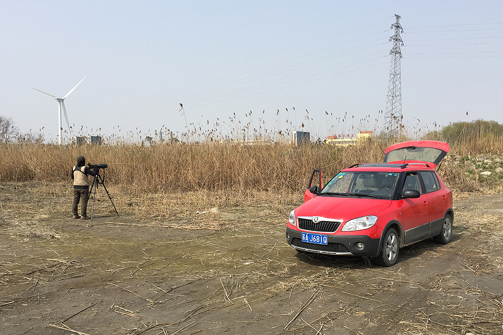 Elaine Du waiting for Brown-cheeked Rail, which did not show this time, at the reed beds near Haiyin Temple, Yangkou, Rudong, Jiangsu, 20 March 2016. Area is at 32.557387, 121.037381 and is reliable for Reed Parrotbill and often reliable for Brown-cheeked Rail.