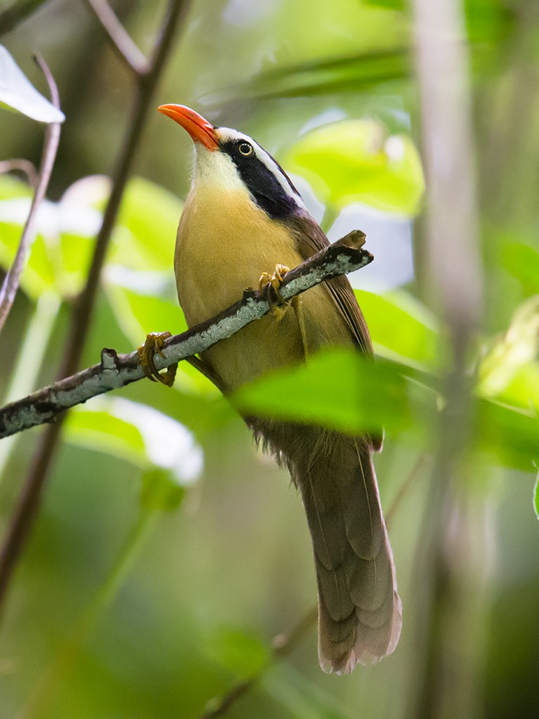Coral-billed Scimitar Babbler near Qinlangdang (elev. 1220 m), 2 March 2016.