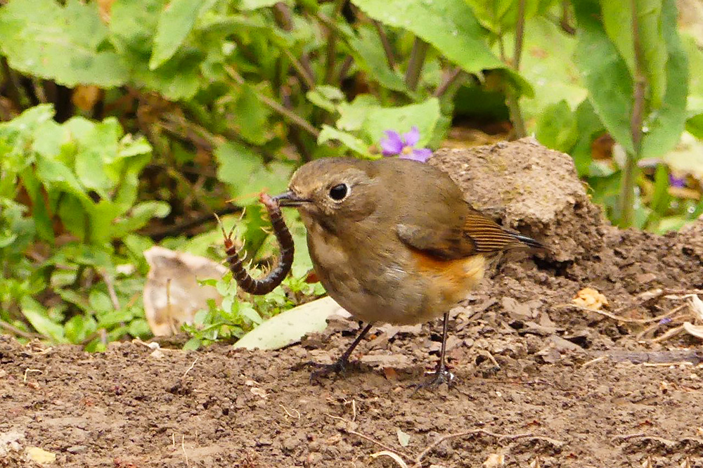 Red-flanked Bluetail attacks centipede at Century Park, 13 March 2016. Subscriber Shelley Rutkin, who contributed this photo, said that passers-by scared off the bluetail before it could finish off the centipede.