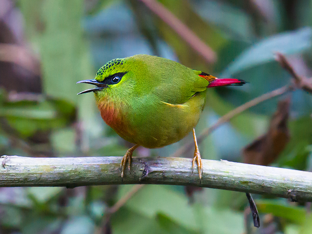 Fire-tailed Myzornis, Dulong Gorge, 26 Feb. 2016.