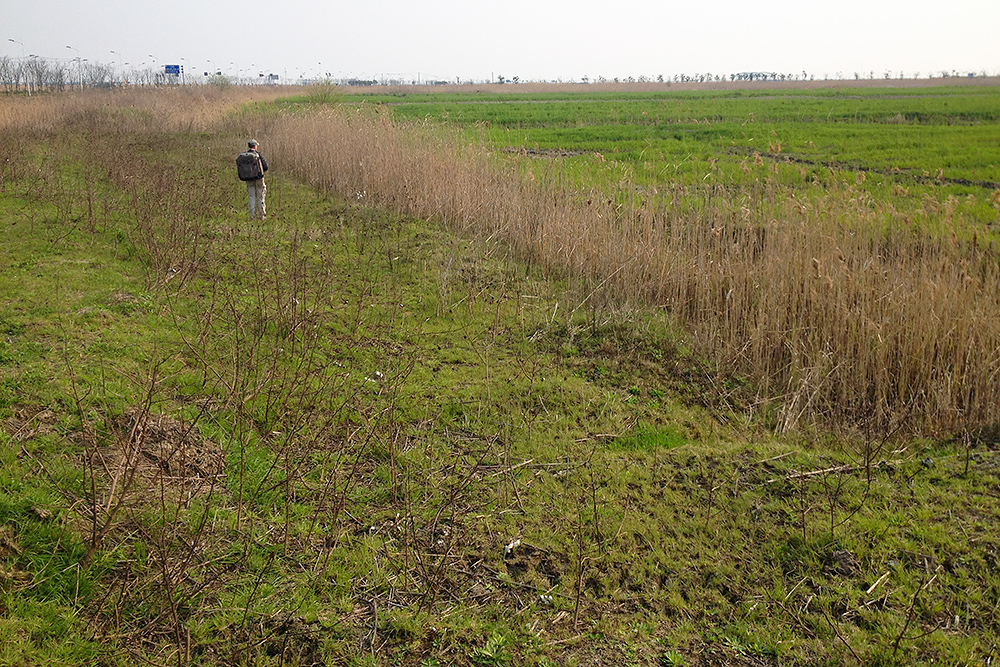 The author in a scrubby strip of land on the edge of a field at Nanhui, 26 March 2016. Little Bunting and Black-faced Bunting were in the scrub, Eurasian Skylark and Common Pheasant in the field. The area is just east of Dishui Lake. Photo by Elaine Du.