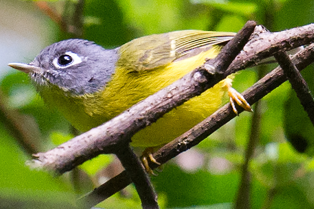 Grey-cheeked Warbler, Qinlangdang, 2 March 2016; also noted 29 Feb. at same place. Elev. 1220 m. Conspicuous teardrop eye-ring helps distinguish Grey-cheeked Warbler Seicercus poliogenys from White-spectacled Warbler S. affinis.