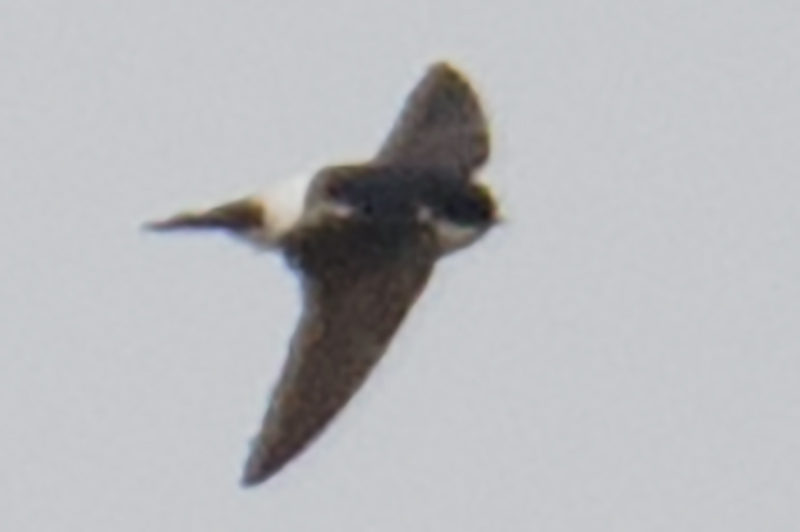 Asian House Martin, 4 April 2016.