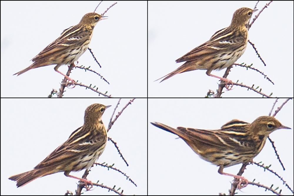 Pechora Pipit, Nanhui, 24 April 2016. The prominent wing bars, distinct stripes on mantle, and contrasting buffish breast and whitish belly are readily visible in my photos.