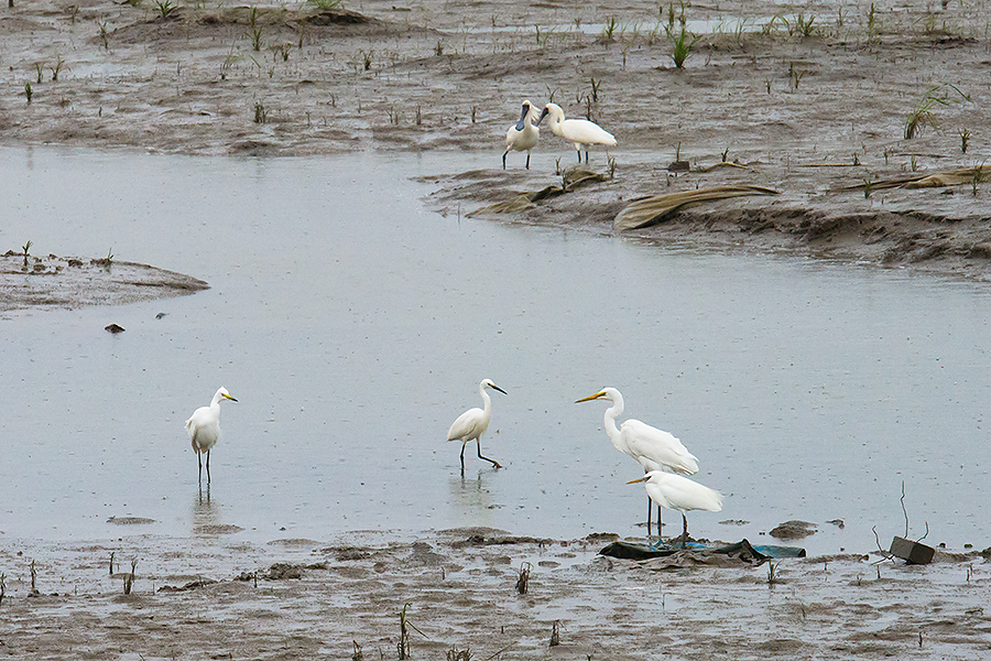 6 Birds, 5 Species, 1 Photo: Top: Black-faced Spoonbill. Bottom, L-R: Intermediate Egret, Little Egret, Great Egret, Chinese Egret.