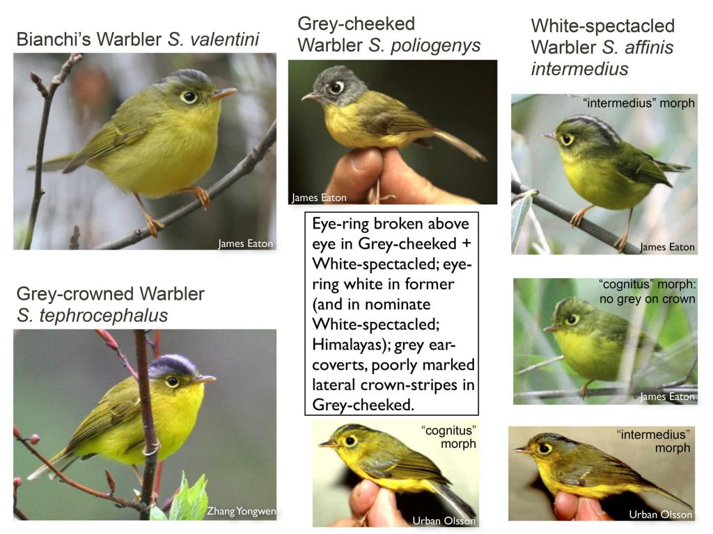 One of the pages dedicated to Seicercus warblers. Taken from a well-known PDF created by Shanghai Birding member Per Alström for a presentation he made to the Beijing Birdwatching Society in 2012. This report is now downloadable through shanghaibirding.com. See nearby text for link.