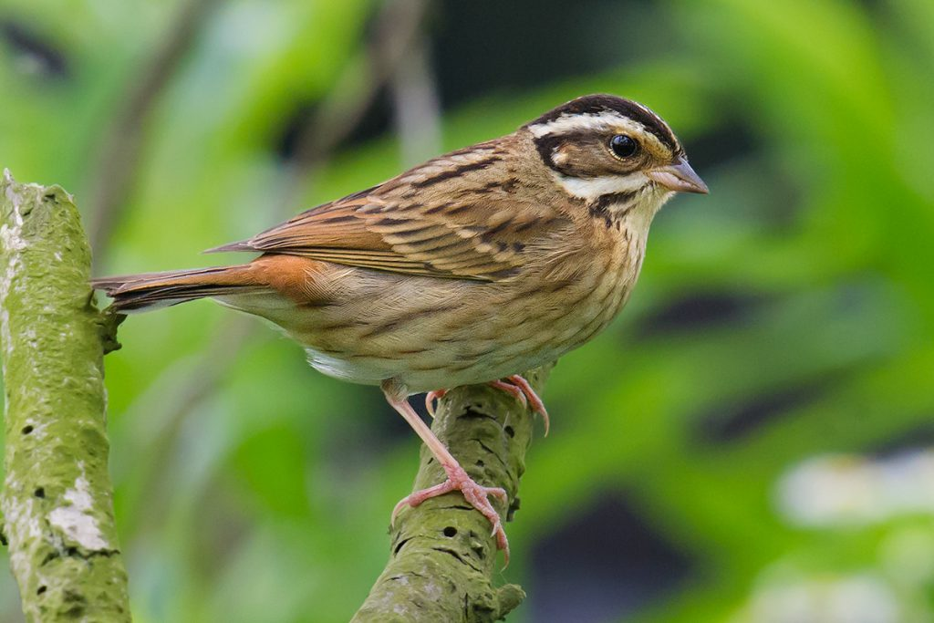 Tristram's Bunting, Nanhui, 7 May 2016. A passage migrant in Shanghai, Emberiza tristrami is a woodland bunting and is often found in the microforests at Nanhui. This is a female.