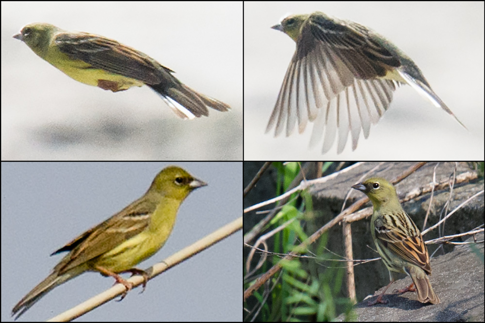 Yellow Bunting Emberiza sulphurata is a rare passage migrant on the Chinese coast. The bunting breeds in Japan and winters mainly in the Philippines. Its numbers have declined much over the years. The species is listed as Vulnerable by the IUCN.