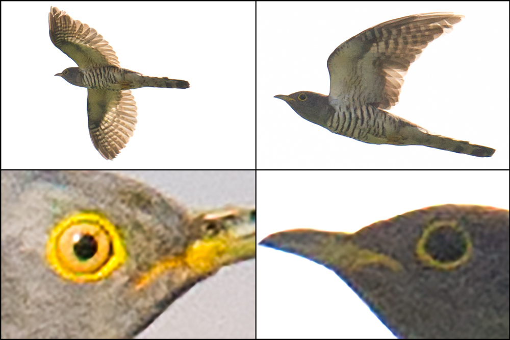 Comparison of Indian Cuckoo and Common Cuckoo. Bottom-left cuckoo is Common; note yellow iris and compare to dark iris of Indian in bottom-right panel. Top two panels also Indian. All photos taken 17 May 2016 at Nanhui.