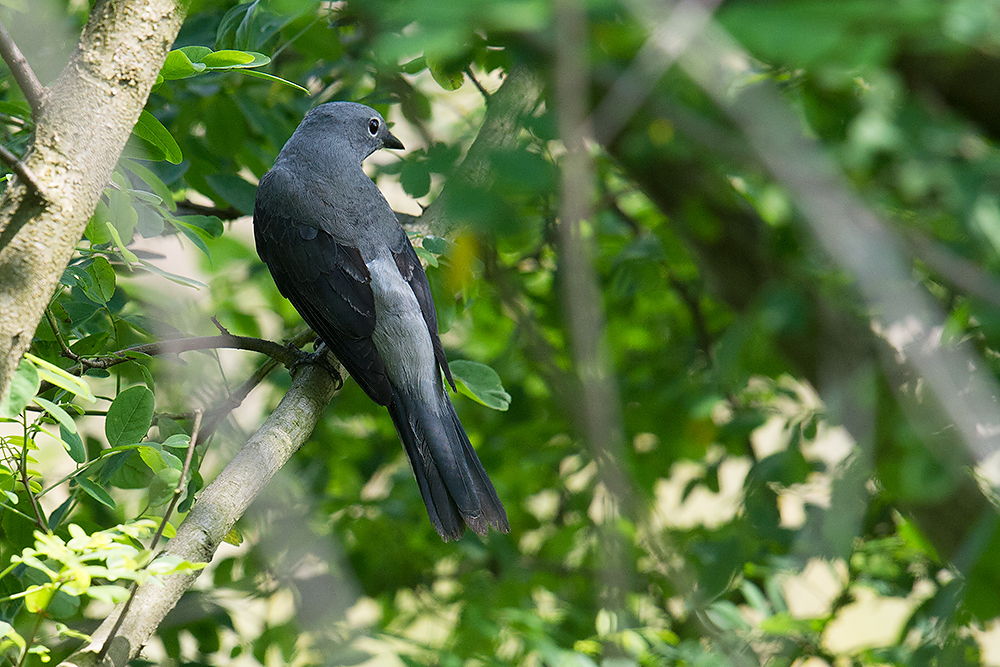Black-winged Cuckooshrike making use of microforest, Nanhui, 14 May 2016.
