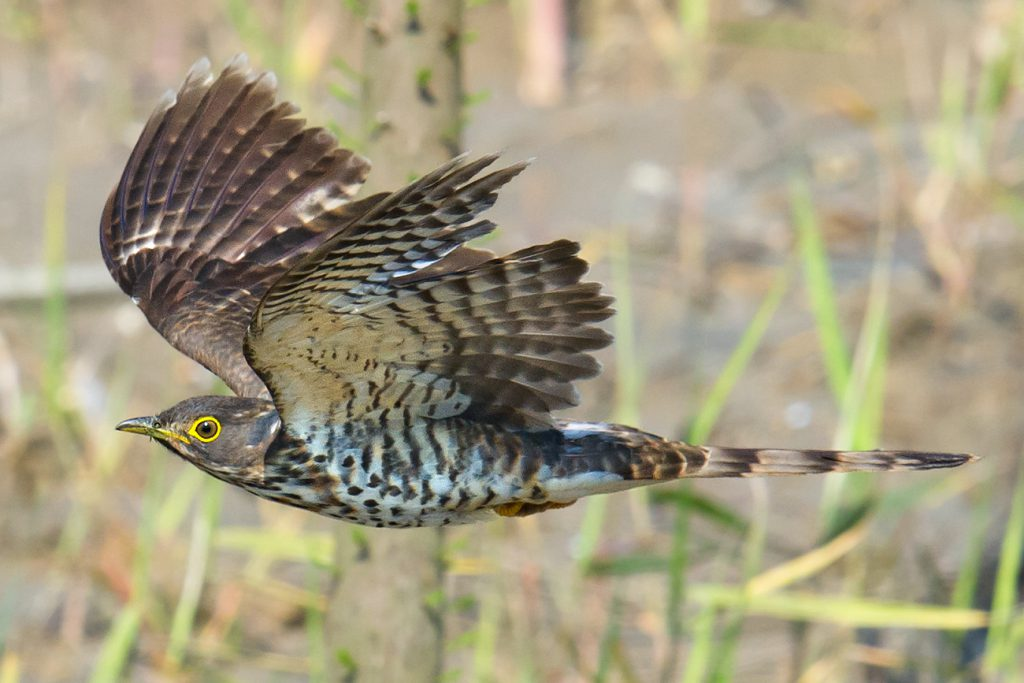 Large Hawk-Cuckoo, Nanhui, Shanghai, 1 May 2016. Well-known because of its manic 'Brain fever!' call and common in south China, Large Hawk-Cuckoo is rarely recorded in Shanghai. This photo is by far the best I have ever taken of Hierococcyx sparverioides and occasioned much celebration by our team. Nikon D3S, 600 mm, F5, 1/2500, ISO 1250, hand-held.