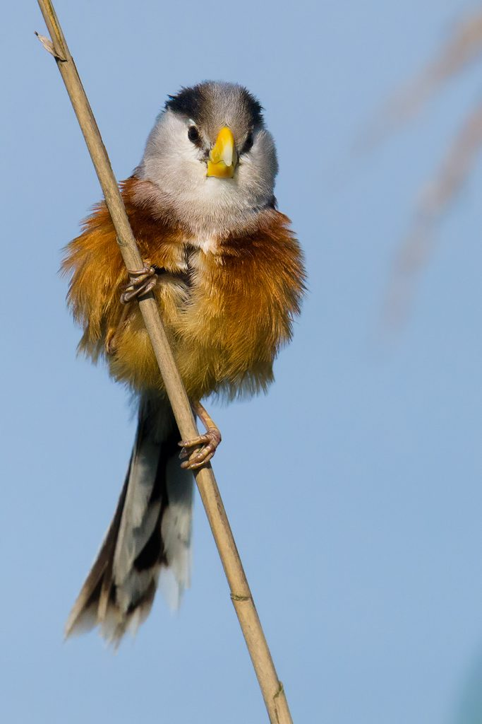 Reed Parrotbill, Nanhui, 17 May 2016. This species gets my vote for Bird of the City of Shanghai. It's charismatic and beautiful, and as a reed-bed specialist, Reed Parrotbill underlines the need to preserve what remains of the reeds in Shanghai and elsewhere along the China coast.